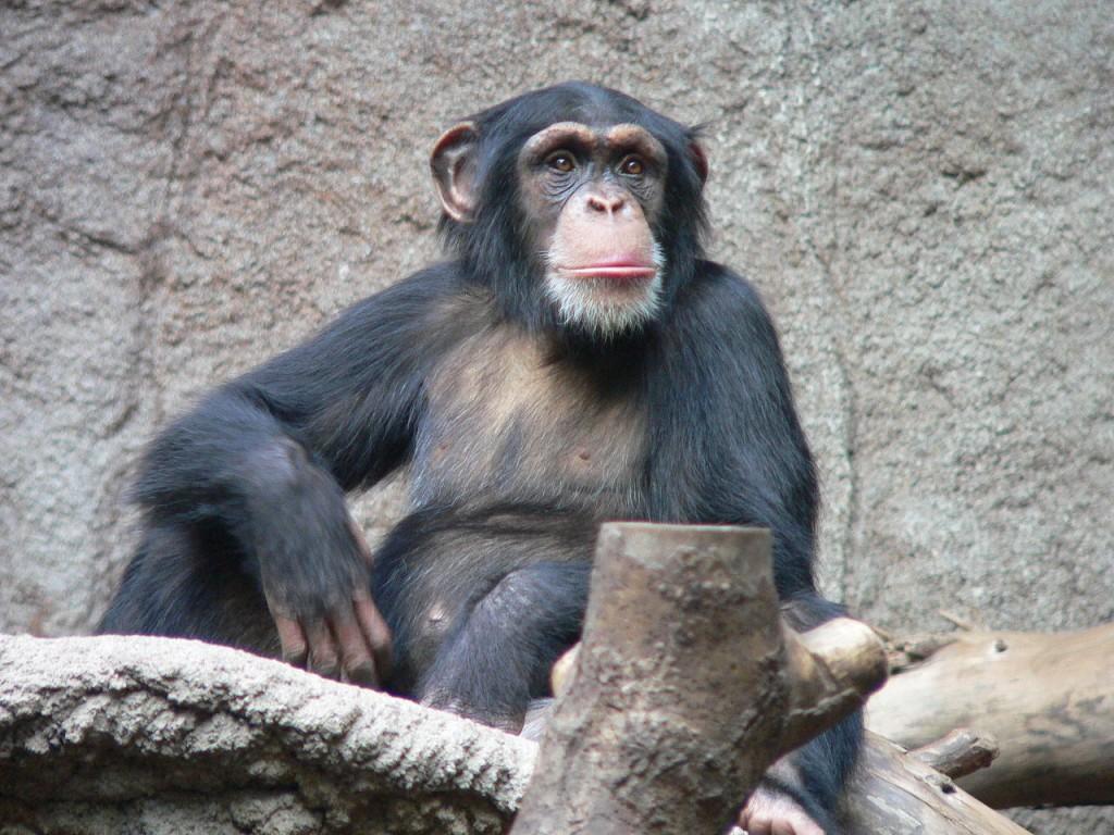 Du deler omkring 99 % av genene dine med denne sjimpansen. At dyrene faller for samme triks som oss mennesker tyder på at adferden kan ha røtter i vår biologi. Foto: Thomas Lersch/Wikimedia Commons, CC-lisens BY-2,5
