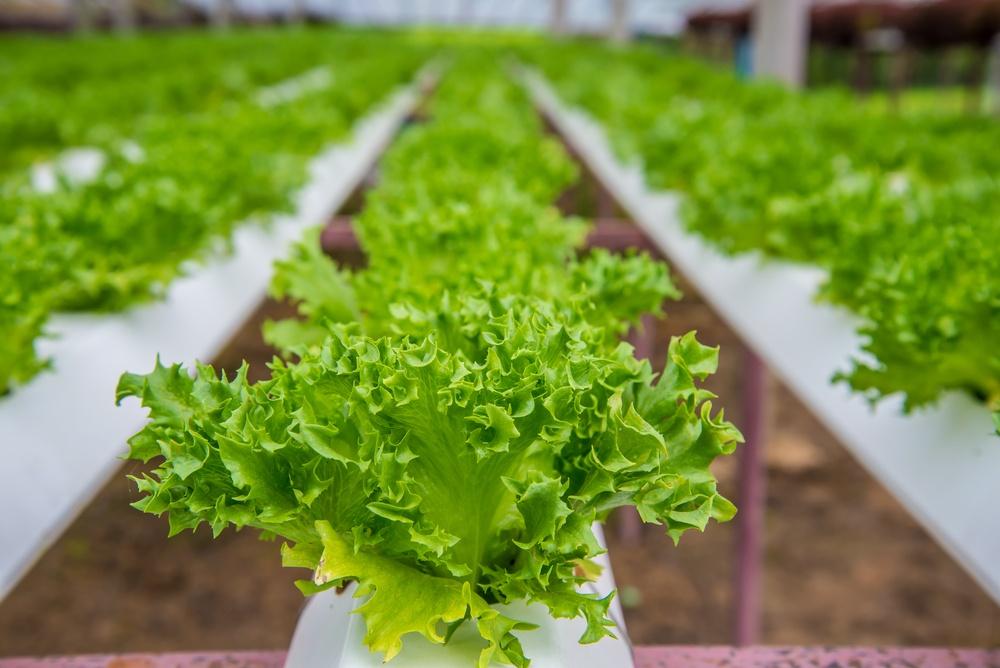 lettuce-1000x668